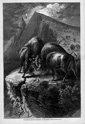 Buffalo Contending For Mastery Of The Herd Buffalo Fighting On A Cliff Bones