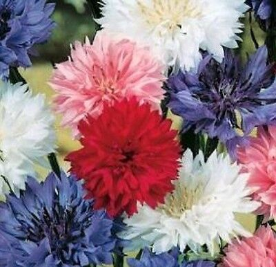 "100 Fresh Bachelor Button ""polka Dot"" Seeds Dwarf Mix Free Shipping Cornflower"
