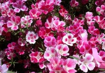 Godetia Farewell To Spring 100 Fresh Seeds Free Shipping