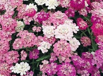 Candytuft Mixed Colors 100 Fresh Seeds Free Shipping  White/pink/purple