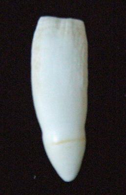 Alligator Individual Tooth Real Gator Voodoo Magic Power Swamp People Bayou