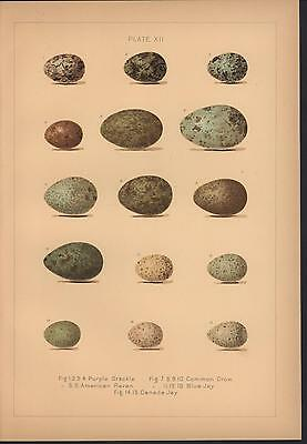 Bird Eggs Oology New England c.1885 color print Purple Grackle Blue Jay Raven
