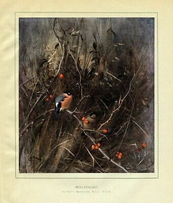 Ornithology Bullfinches Perched In The Thicket, 1919 Vintage Color Print, Finch