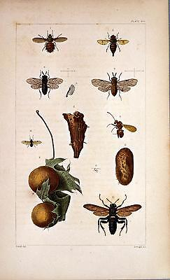 2 x 18th Century Natural History Print's of Insects #5