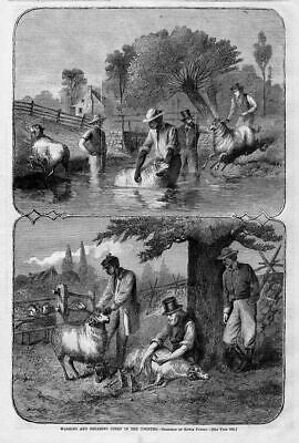 Sheep Farming 1868 Antique Engraving Washing And Shearing Sheep In The Country