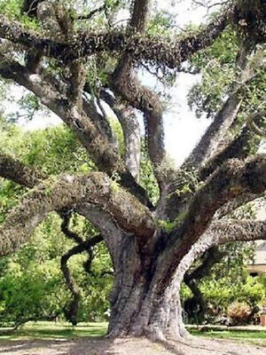 Quercus virginiana Live oak  florida native tree roble pre bonsai seed 20 seeds