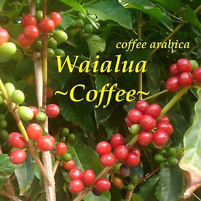 SPRING SALE! ~WAIALUA COFFEE~ Tree COFFEA ARABICA LIVE pot'd Medium 12+in PLANT