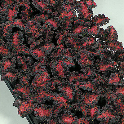 Coleus - Black Dragon - 25 Seeds