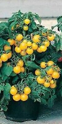 Rare Seeds Tomato Golden Balcony Miracle Russian Heirloom Vegetable Seed