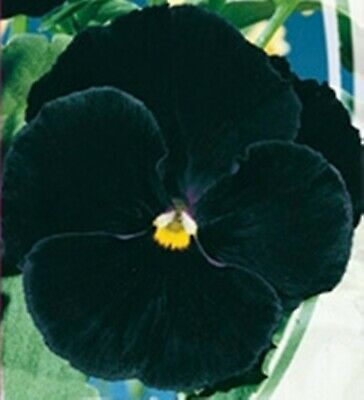 Rare Flower Seeds Swiss Pansy Giant Black Russian Flowers Seed