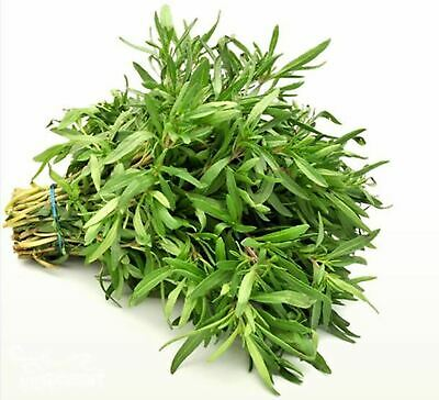 Seeds Summer Savory - Oster Aromatic Organic Russian Heirloom Herb Seed