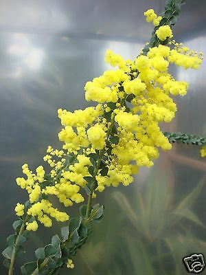 Oven's Wattle Seeds Evergreen Medium Shrub Drought, Frost & Salt Hardy Tough One