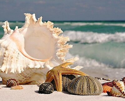 Seashells 8X10 Glossy Photo Picture