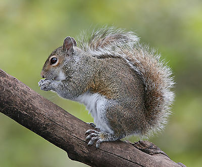Squirrel 8X10 Glossy Photo Picture