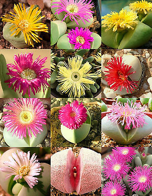ARGYRODERMA MIX, succulent cactus mixed living stones rocks plant seed  20 SEEDS