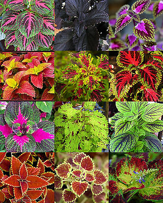 COLEUS MIX,  flowering MANTO ornamental garden brightly colored foliage 15 seeds
