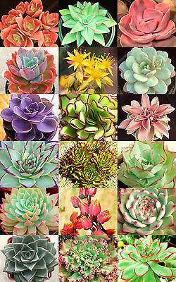 ECHEVERIA variety mix rare exotic hens chicken succulent flowering seed 50 seeds