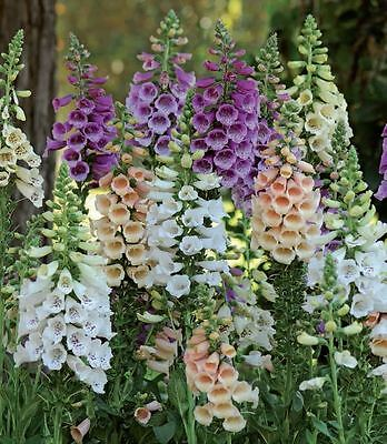 Flower - Foxglove - Digitalis - Dalmatian F1 Mixed - 10 Pelleted Seeds
