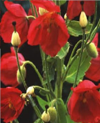 Flower - Meconopsis Napaulensis - 50 Seed - Special