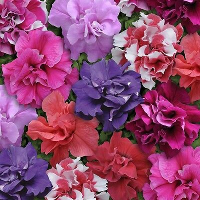 Flower - Petunia - Double Duo Mixed F1 - 30 Pelleted Seeds