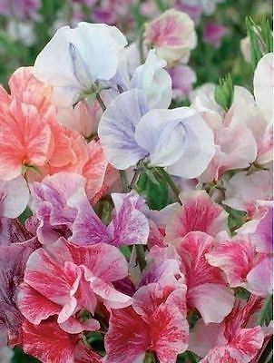 Flower - Sweet Pea - Heaven Scent Mixed - 1000 Seeds - Bulk Pack