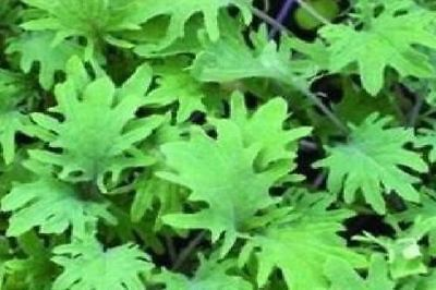 Vegetable - Borecole - Curly Kale - Red Russian - 300 Seeds - Economy