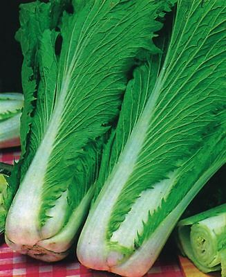 Vegetable - Chinese Cabbage - Wong Bok - 700 Seeds