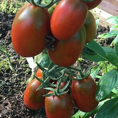 Vegetable Seeds Black Tomato De Barao Chornyy Organically Grown Russian Heirloom
