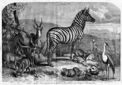 Zebra Animals Received At Garden Of The Zoological Society Regent's Park Crane