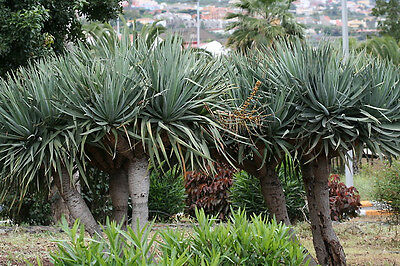 *Rare* Dragon Blood Tree Seeds Dracaena draco  Succulent Yucca From Canada