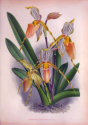 ANTIQUE ORCHID PRINTS - Restored & High Res., Big A3 Print-Making Images on DVD