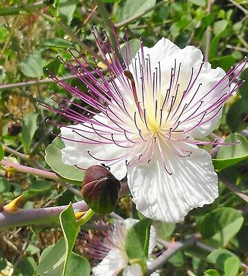 Herb - Caper - Capparis Spinosa - 20 Seeds