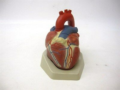 Anatomical Heart Model Missing 3 Pieces