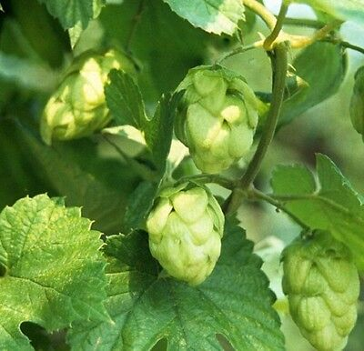 Herb Seeds - Hops - 100 Seeds