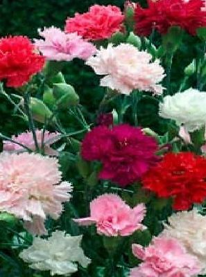 Flower - Carnation - Dianthus Caryophyllus - Chabaud Mixed - 300 Seeds