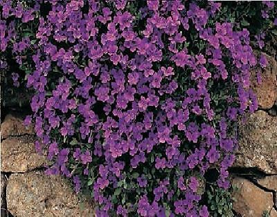Flower - Rock Cress - Aubrieta deltoidea - Royal Violet - 250 seed
