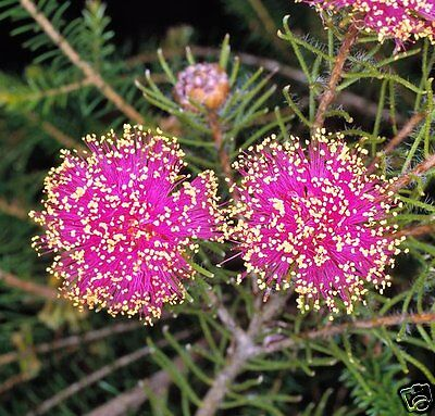 Pretty Honey Myrtle Seeds Small Hardy Evergreen Native Shrub
