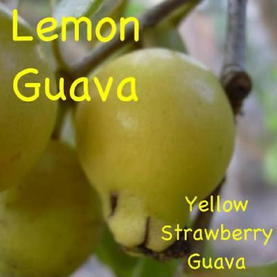 ~LEMON GUAVA FRUIT TREE~ YUMMY Psidium cattleianium LIVE Medium sz 12+inch PLANT