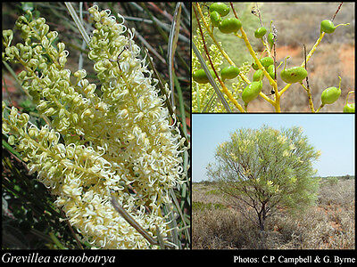 Sandhill Grevillea Seed Arid Living Creamy Flower Grows All Mainland States