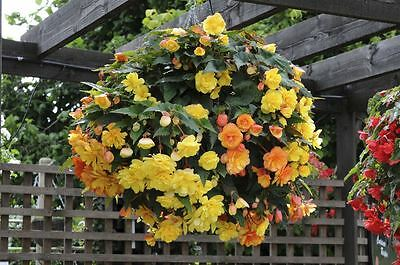 Flower - Begonia Supercascade F1 Apricot - 10 Pelleted Seed