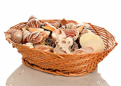 900g Assorted Seashells Small and Medium Craft Sea Shell Beach Table Tank Decor