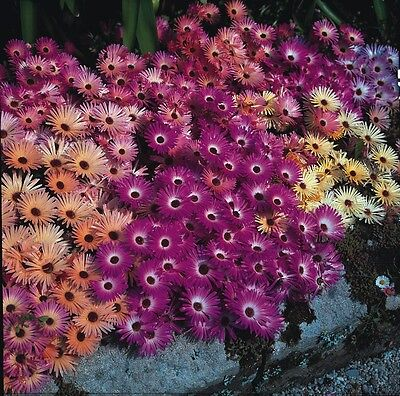 Small Packet Flower Mesembryanthemum Magic Carpet Mixed 200 Seed - Free UK Post