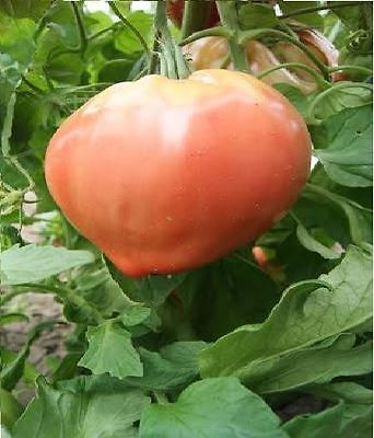 Vegetable - Tomato - Oxheart Giant - 100 Seeds - Economy