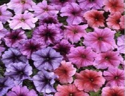 Flower - Petunia - Express Vein Mixed F1 - 50 Pelleted Seeds