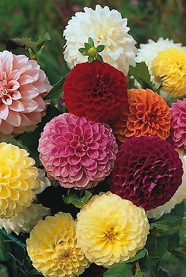 Flower - Dahlia  Pompon Double Mixed - 50 Seeds