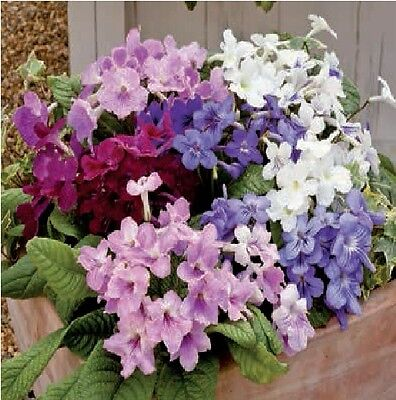 Flower - House Plant - Streptocarpus - Cape Cool - 25 Pelleted Seed
