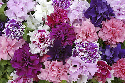 Flower - Petunia - Double Pirouette Mixed F1 - 150 Pelleted Seeds - Large Packet