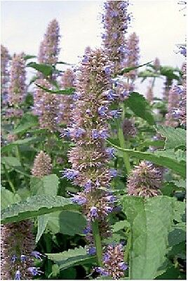 Herb - Anise Hyssop - Agastache Foeniculum - 1000 Seeds