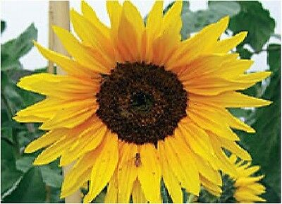 Flower - Sunflower - Autumn Beauty - 150 Seeds