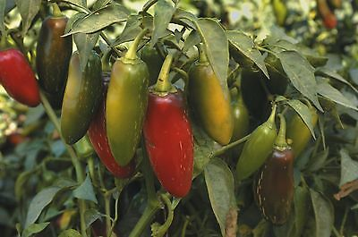Vegetable - Pepper (Chilli) - Pepper - Early Jalapeno - 20 Seeds